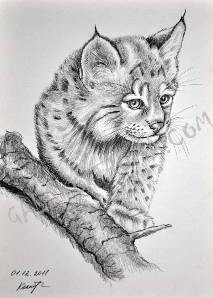 lynx puma cub